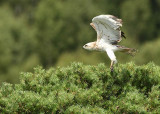 Short-toed eagle - Circaeetus gallicus, GSV Brecht