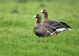 White-fronted Goose