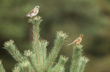 Fieldfare and Redwing - Turdus pilarus and iliacus