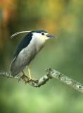 Night Heron - Kwak