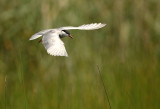 Whiskered Tern - Witwangstern