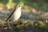 Pied Flycatcher - Bonte Vliegenvanger
