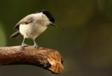 Marsh Tit - Glanskop