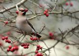 Bohemian Waxwing - Pestvogel