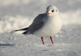 Black-headed Gull - Kokmeeuw