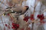 Bohemian Waxwing - Pestvogel, Kalmthout Kijkuit 27/12/10