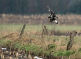 Rough-legged Buzzard - Ruigpootbuizerd, Kalmthout 040111
