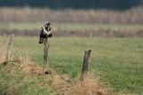 Rough-legged Buzzard - Ruigpootbuizerd, Kalmthout 260111