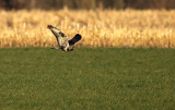 Rough-legged Buzzard - Ruigpootbuizerd, Kalmthout 050111