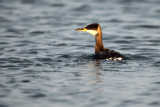 Red-necked Grebe - Roodhalsfuut