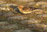 Frater - Twite