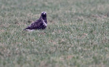 Rough-legged Buzzard - Ruigpootbuizerd (NL)