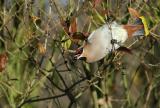 Waxwing - Bombycilla garrulus