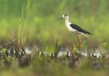 Black-winged stilt - Himantopus himantopus - De Maatjes, 27/05/08