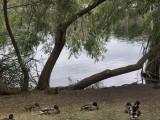 Lake - Tree  Ducks.jpg