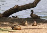 Mama Duck  Family - 4.jpg