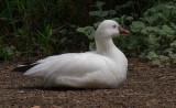 White Duck 2.jpg