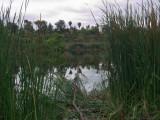 Lake  Reeds 2.jpg