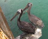 Avila Beach 2 Pelicans.jpg
