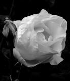 Pink Rose 3 .jpg
