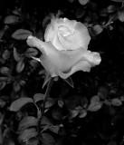 Varigated Rose-3.jpg