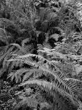 Ferns .jpg