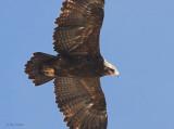 Steppe Eagle, Sanetti Plateau, Bale Mountains