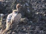 Ruppell's Vulture, Fantelle lava field, Lake Beseka