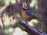 Ruppell's Robin-chat, Goba