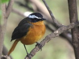 Ruppell's Robin-chat, Bahir Dar