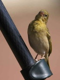 Ruppell's Weaver (female), Lake Langano