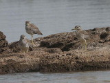 Senegal Thick-knee, Lake Tana