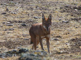 Simien Wolf, Bale Mountains NP
