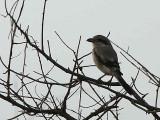 Southern Grey Shrike, Awash NP