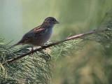 House Sparrow female, Dalyan, Turkey