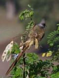 Speckled Mousebird, Axum