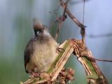 Speckled Mousebird, Bahir Dar