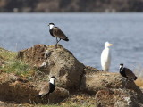 Spur-winged Plover, Lake Beseka