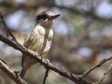 Striped Kingfisher, Lake Langano