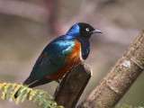 Superb Starling, Lake Langano
