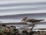 Three-banded Plover, Lake Beseka