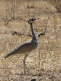White-bellied Bustard, Awash NP