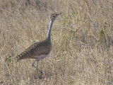 White-bellied Bustard, near Yabello