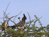 White-bellied Go-away-bird, Awash NP