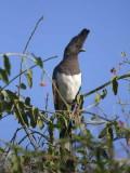 White-bellied Go-away-bird, Lake Langano