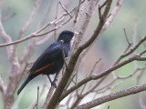 White-billed Starling, Axum