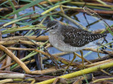 Wood Sandpiper, Lake Awassa