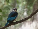 Woodland Kingfisher, Lake Langano