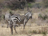 Zebra, Yabello Ranch