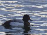 Lesser Scaup, Hogganfield Loch, Clyde